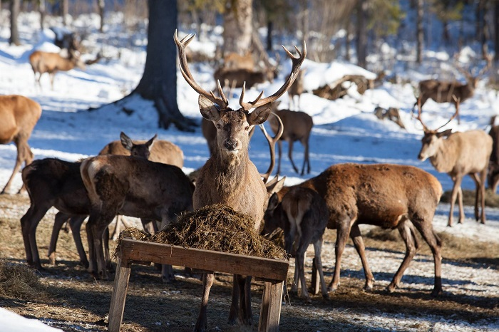 Deer at feeding wild animals in winter